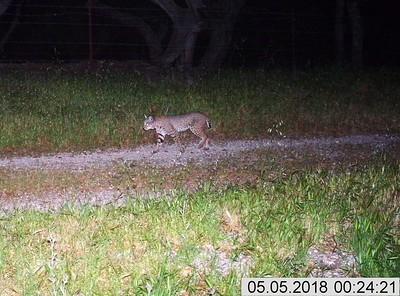 Recent Pismo Preserve Wildlife Camera Captures