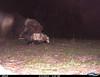 Virginia Opossum 3/2/12