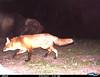 Red Fox 3/8/12