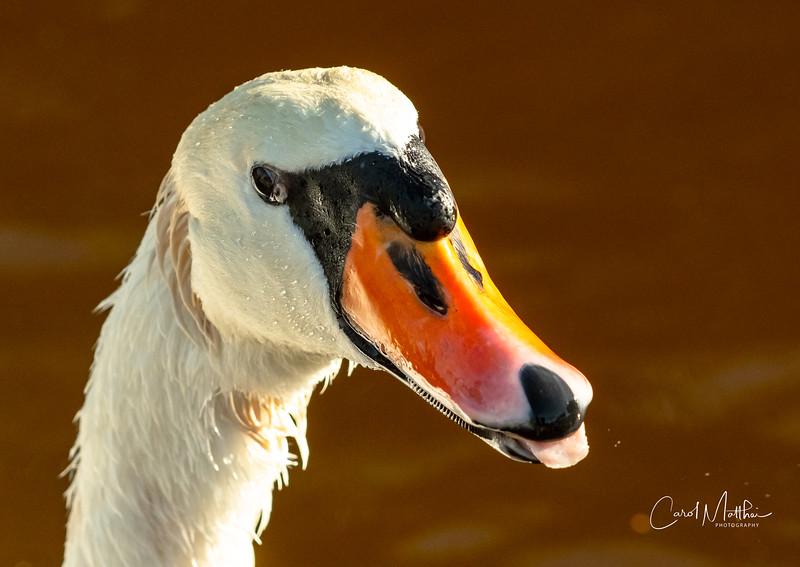Mute swan puppy dog look