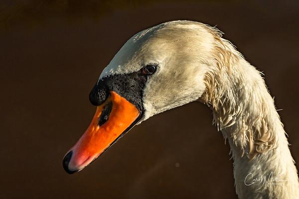 Miute swan profile