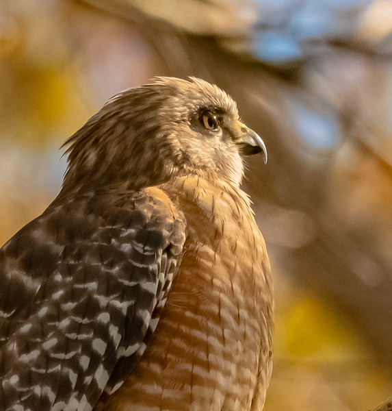 Red-shouldered Hawk looking into the distance
