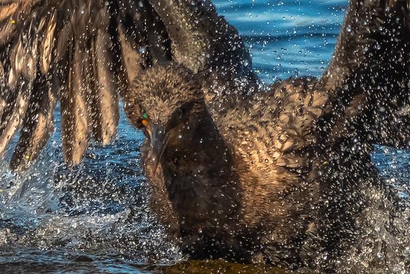 Cormorant splashing-2