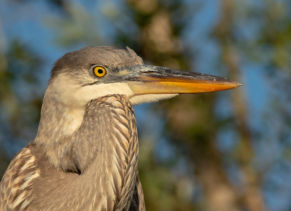 My favorite Heron up close
