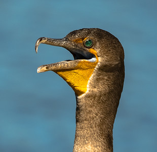Details on a Cormorant