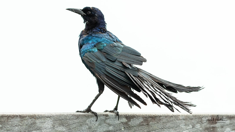 Boat-tailed Grackle with frazzled tail