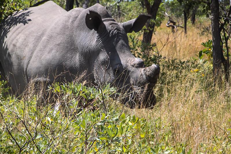 rhino trekking in zimbabwe