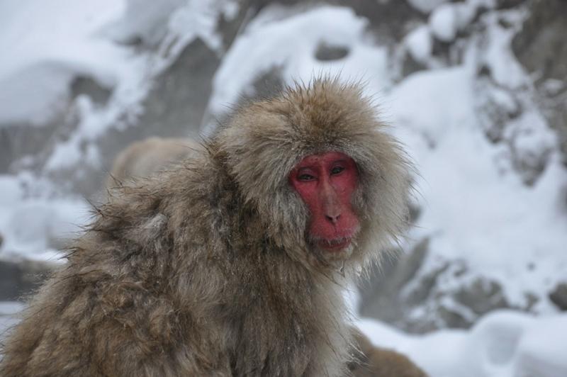 Jigokudani Snow Monkey Park in Japan