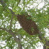 A typical bee swarm on a tree branch.