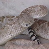This is most likely a Mojave rattlesnake. <br /> <br /> Note the narrow black bands and how the diamond pattern fades towards the tail.<br /> <br /> Western Diamondback rattlesnakes generally have somewhat equal width black and white tail bands.