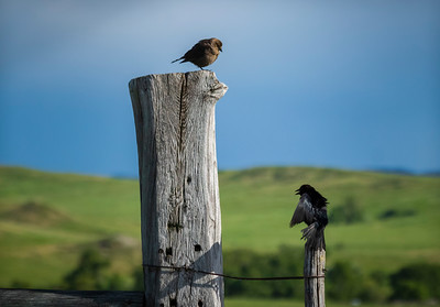 Courting Cowbirds