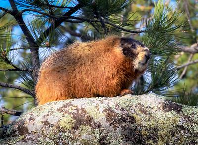 Grinning Marmot