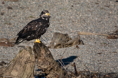 JW2_5185_bird-young-bald-eagle