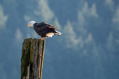 JW2_5211_bird-bald-eagle