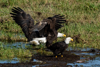JW2_5886_wildlife-bald-eagle