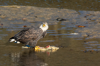 JW2_5794_wildlife-bald-eagle-salmon