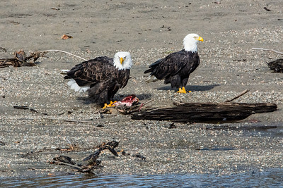 JW2_6017_wildlife-bald-eagles
