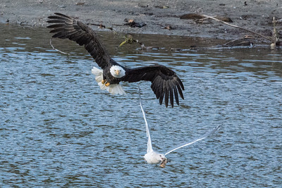 JW2_6052_wildlife-bald-eagle-seagull