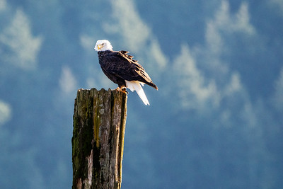 JW2_5215_bird-bald-eagle