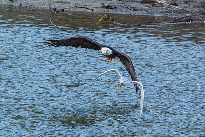 JW2_6051_wildlife-bald-eagle-seagull