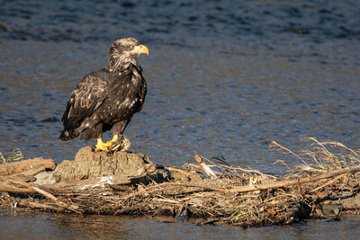 JW2_5203_bird-young-bald-eagle