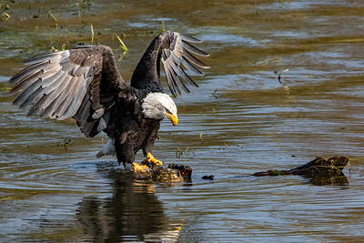 JW2_5854_wildlife-bald-eagle