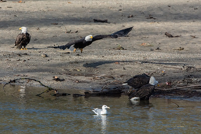 JW2_5995-wildlife-bald-eagles