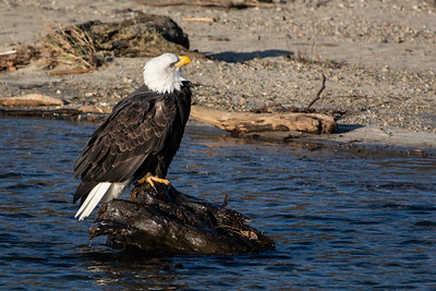 JW2_5177_bird-bald-eagle
