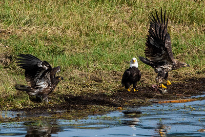 JW2_5922_wildlife-bald-eagles