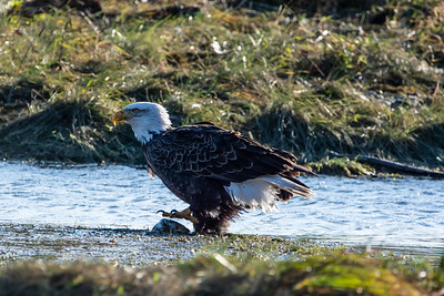 JW2_5281_bird-bald-eagle