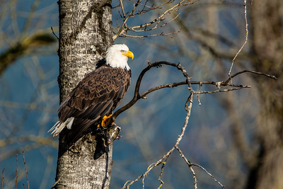JW2_5151_bird-bald-eagle