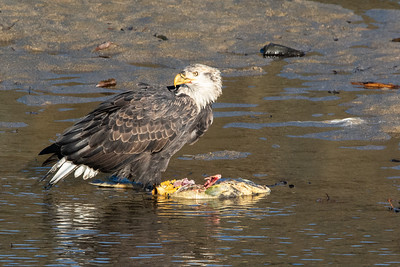 JW2_5782_wildlife-bald-eagle-salmon