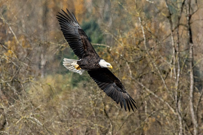 JW2_6131_wildlife-bald-eagle