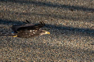 JW2_5195_bird-young-bald-eagle-flight
