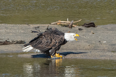 JW2_6005_wildlife-bald-eagle