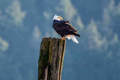 JW2_5208_bird-bald-eagle