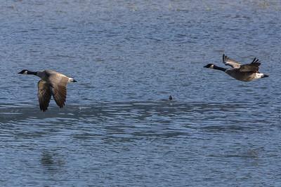 JW2_5827_wildlife-canada-geese-1