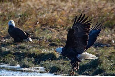 JW2_5266_bird-bald-eagles