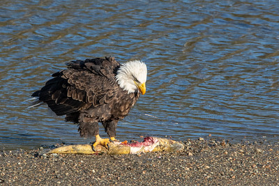JW2_5806_wildlife-bald-eagle-salmon