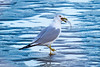 Gull Swallowing Fish