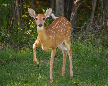 Spotted Fawn Spotting Me