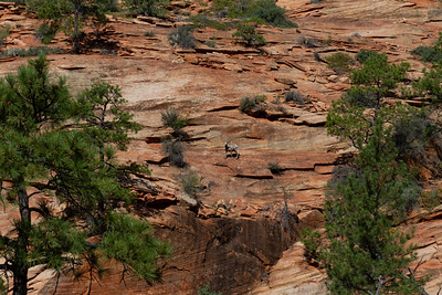 Bighorn Descending from Top at Zion National Park