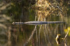 Gulf Islands and an Alligator