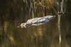 Alligator Submerging