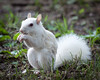 White Squirrel in Summer