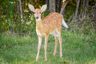 Fawn in Indiana near Hovey Lake