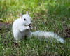 New White Squirrel