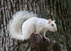 White Squirrel Perch
