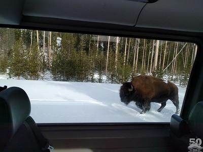 Dylan Klinesteker - Bison bison By