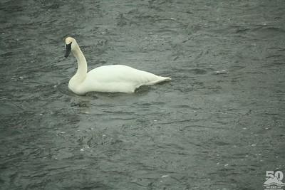 Chelse Grohman - Canyon Swan